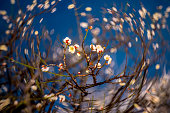 近世 梅の花の花