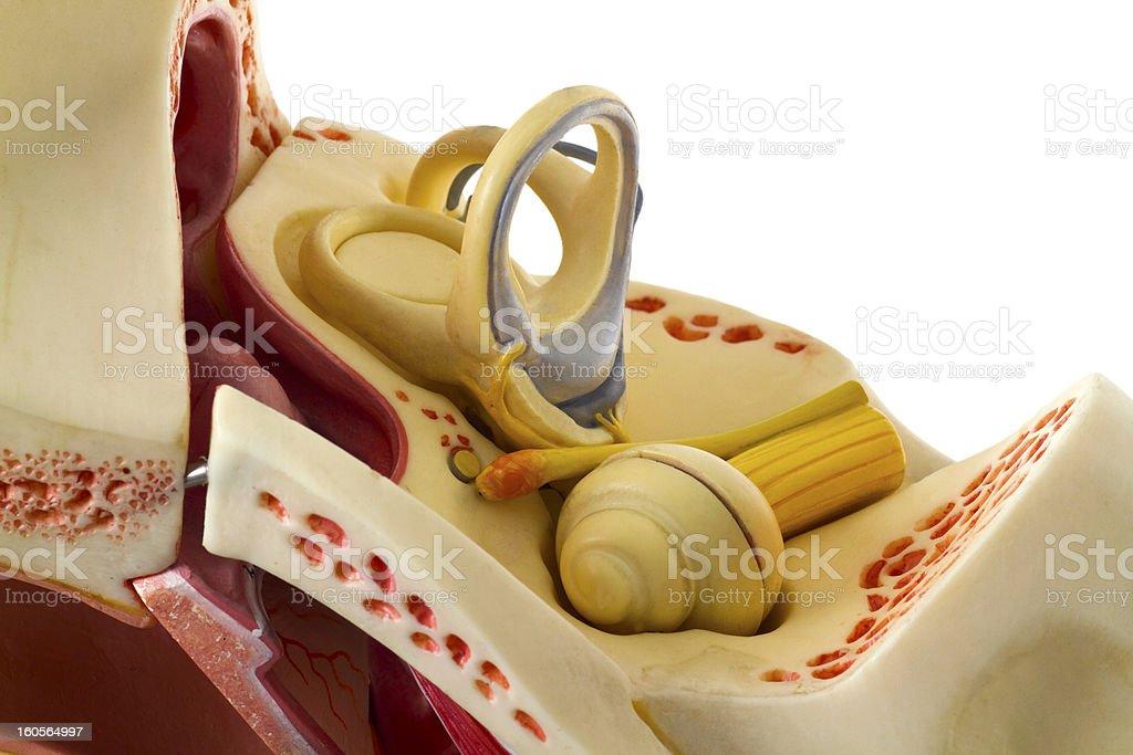 Ear anatomy stock photo