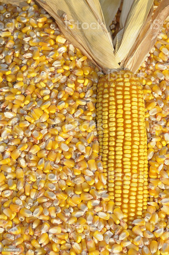 Ear and Grains of Corn royalty-free stock photo