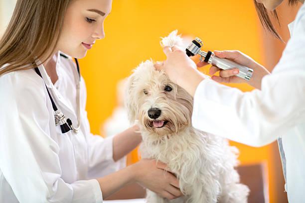 Ear examination of maltese dog in vet clinic picture id486680492?b=1&k=6&m=486680492&s=612x612&w=0&h=c 4q98wtmnl13haaxfsgi3okunrufjrgdwodtrdvioc=