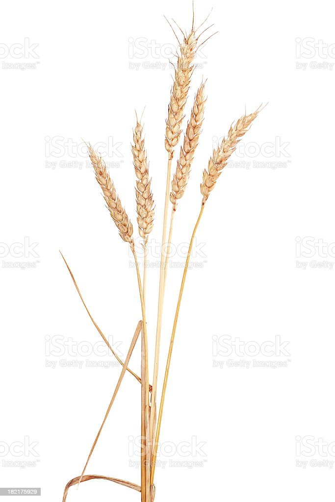 Ear grain of wheat on a white background royalty-free stock photo