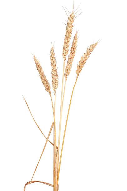 Weizen – Foto
