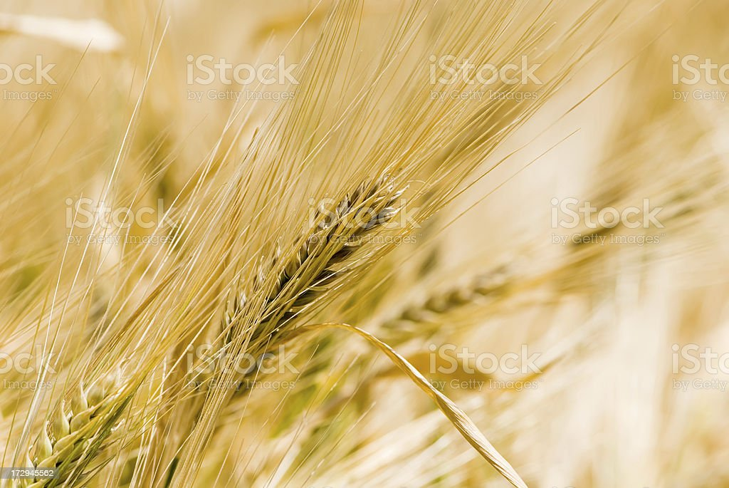 ear of grain royalty-free stock photo