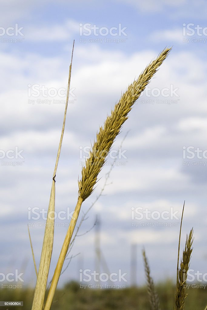 Ear of grass on cloudy sky background royalty-free stock photo