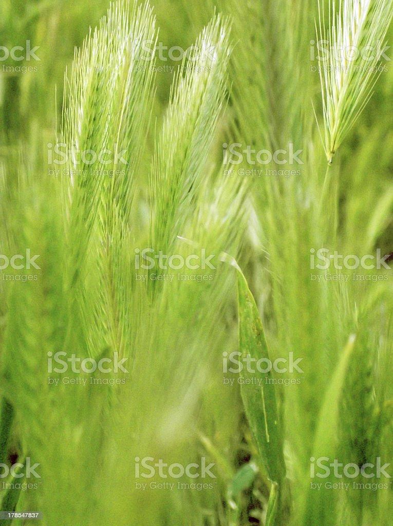ear of green wheat royalty-free stock photo