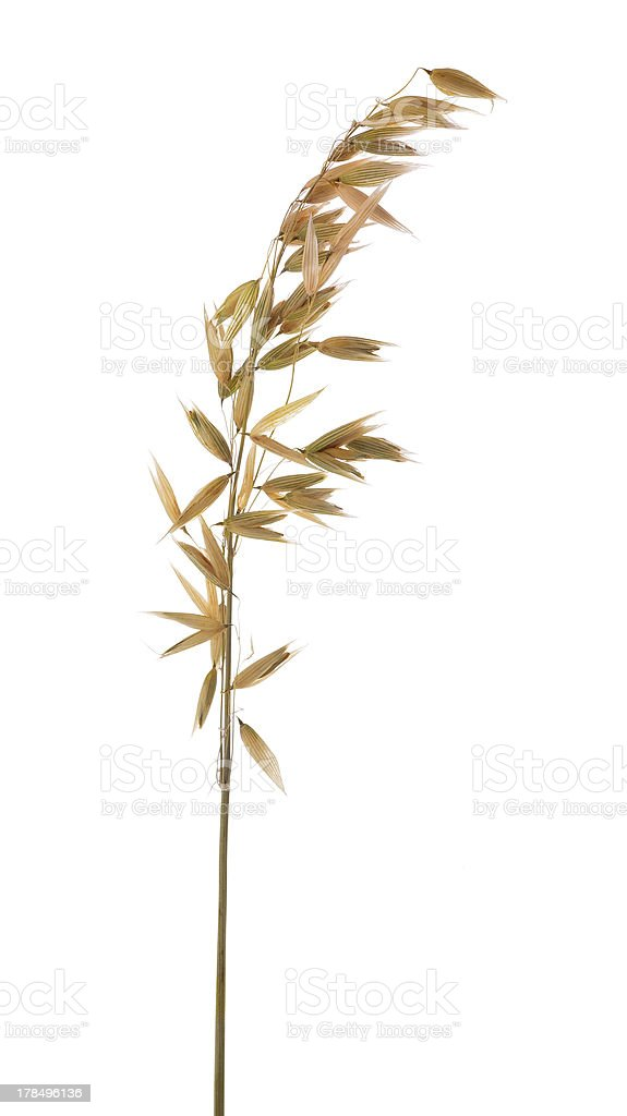 ear of oat isolated on white stock photo