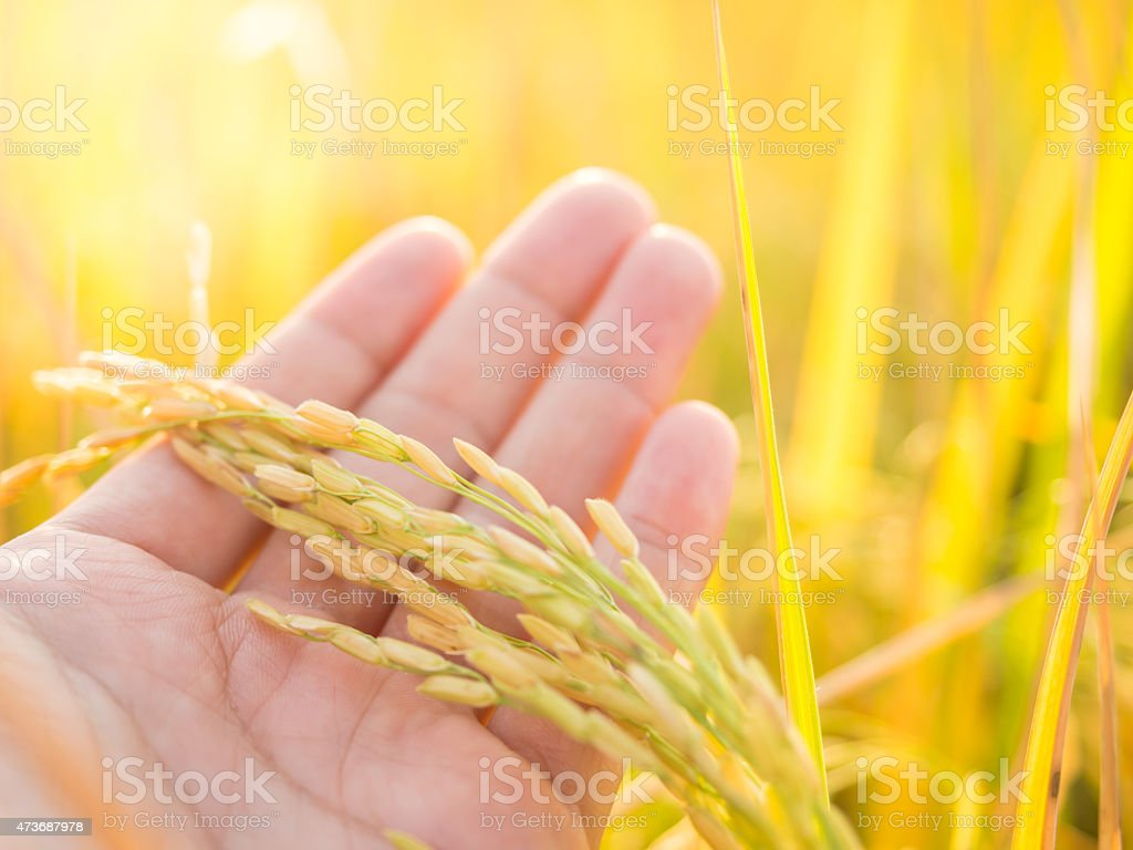 Ear of rice in farmer's hand before harvest, Thailand stock photo