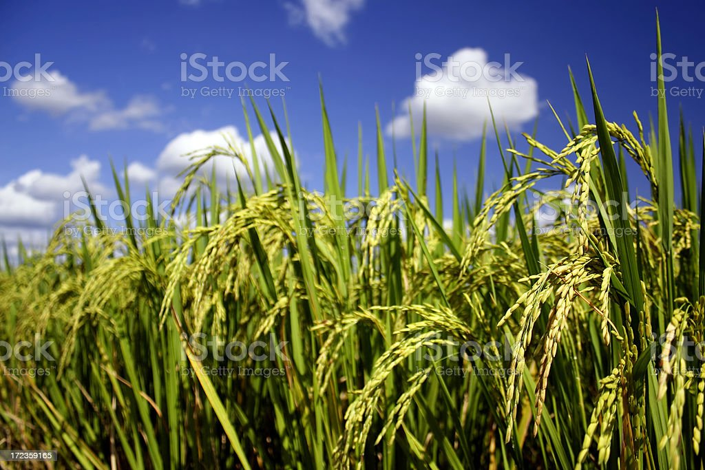 Ear of rice royalty-free stock photo
