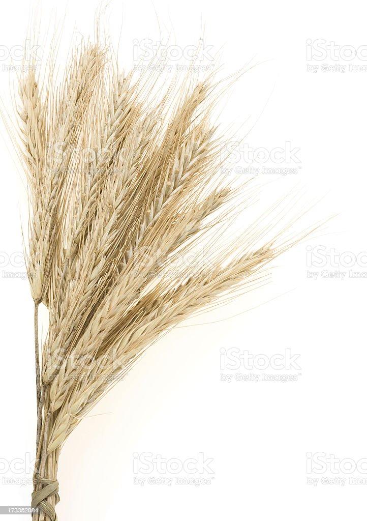ear of rye bundle on white royalty-free stock photo