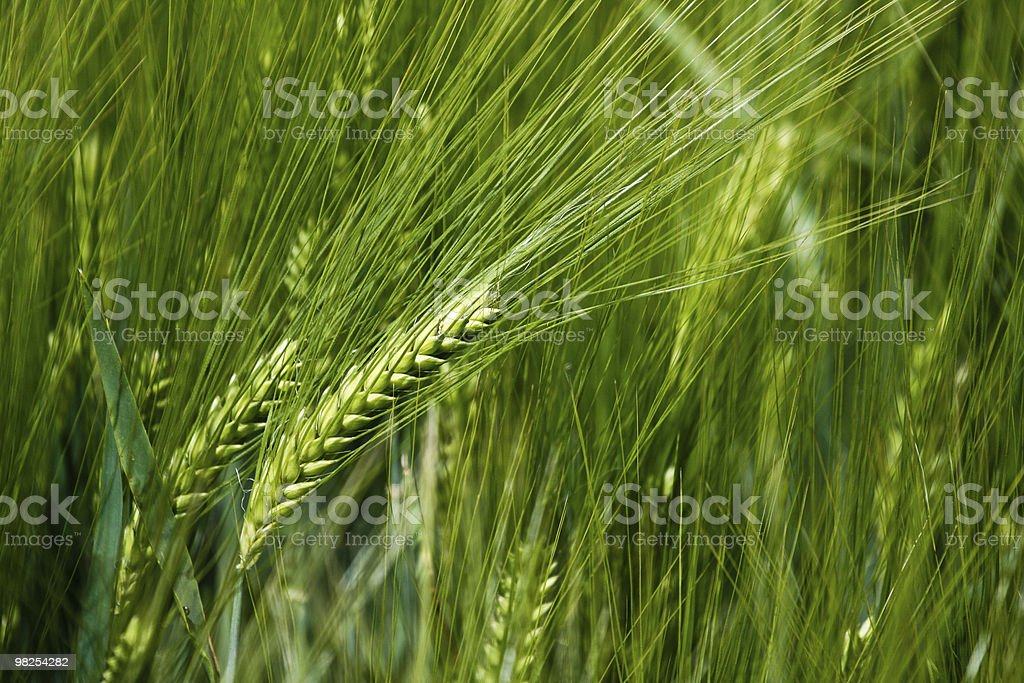 Ear of rye in the field royalty-free stock photo