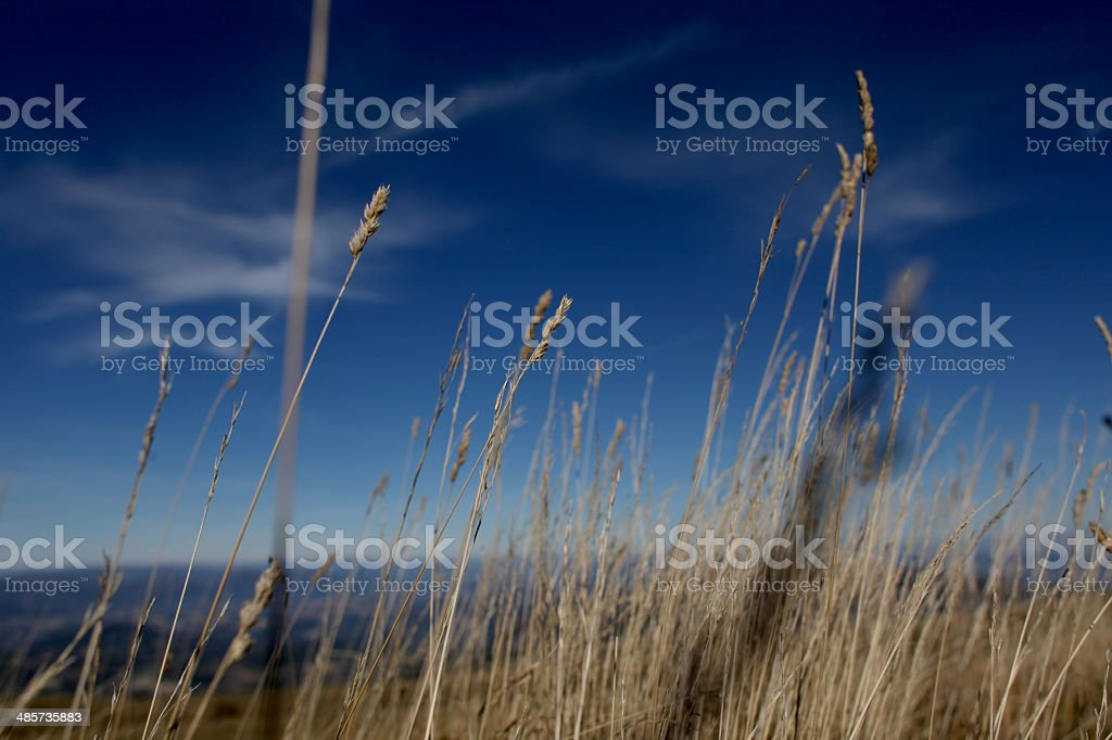 Ear of wheat in Sarnano, Italy. stock photo