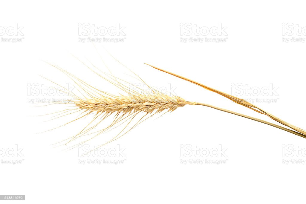 Ear of wheat on white background. stock photo