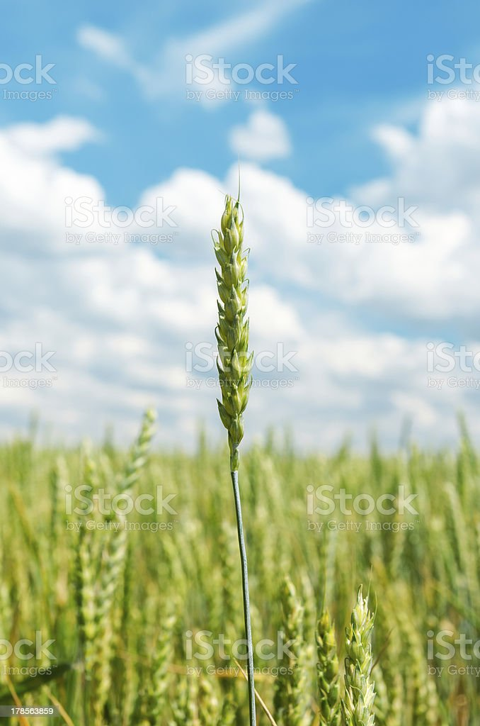 ear of wheat over field royalty-free stock photo