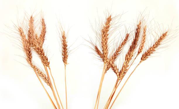 Ear Of Wheat Ear of wheat on white background. ear of wheat stock pictures, royalty-free photos & images