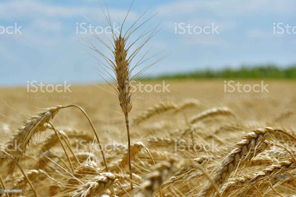 Épi de blé  photo libre de droits