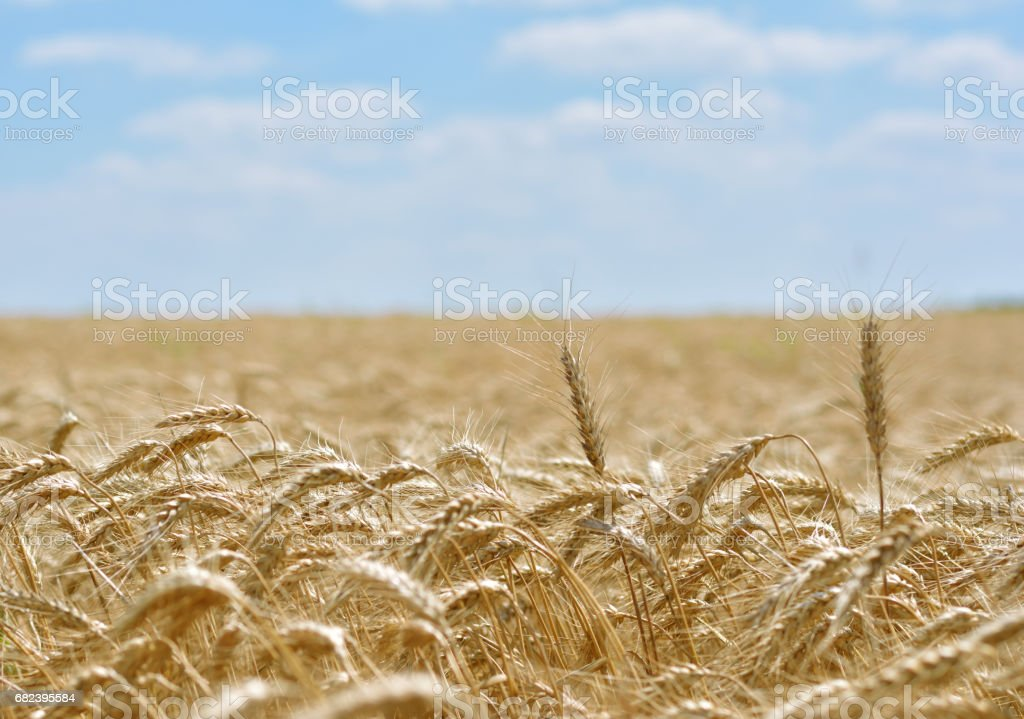 Ear of wheat stock photo