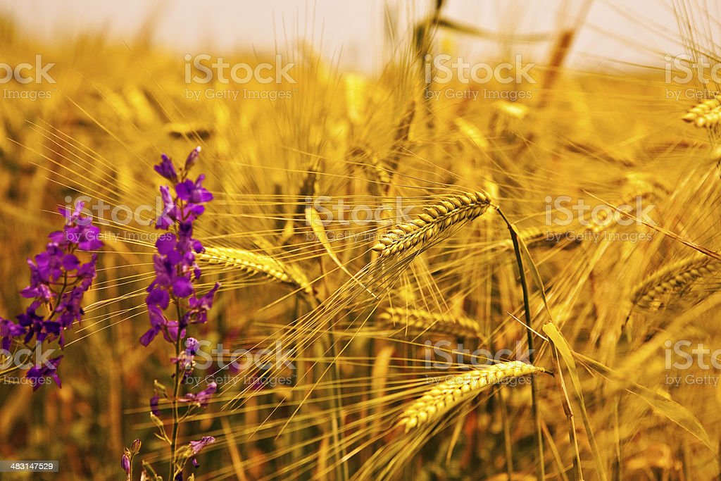 Ear of wheat with flowers royalty-free stock photo