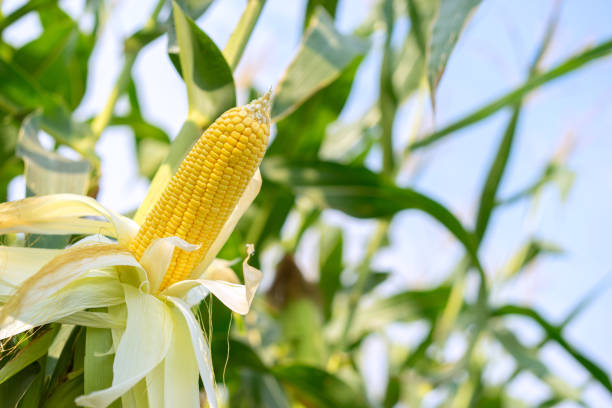 ear of yellow corn with the kernels still attached to the cob on the stalk in organic corn field. - milho imagens e fotografias de stock