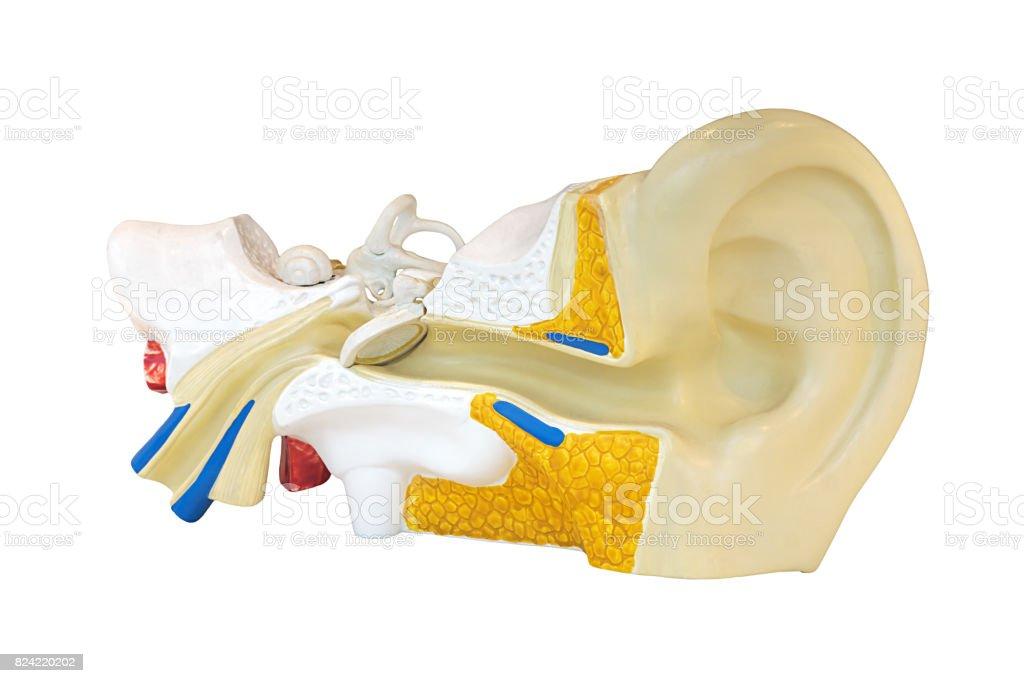 Ear stock photo