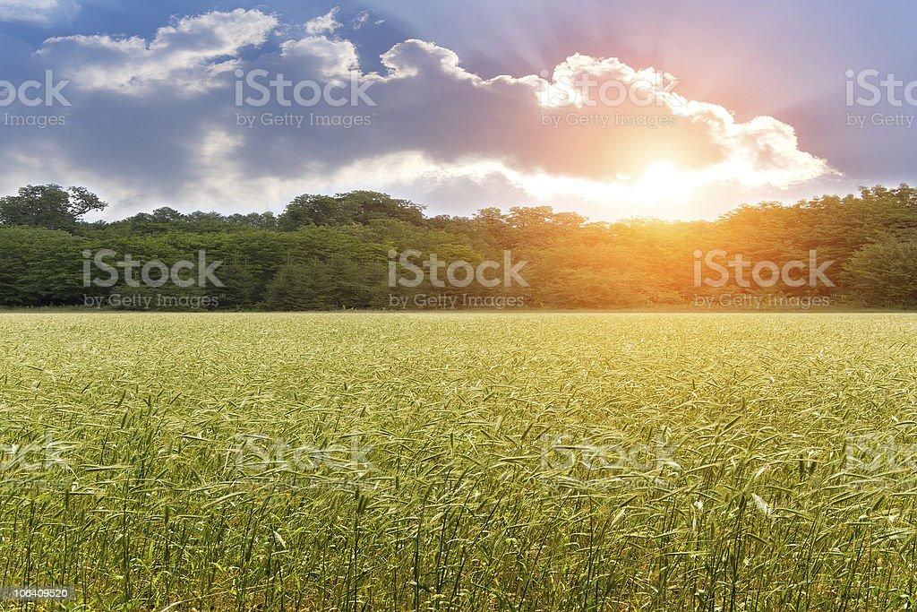 Ear  wheat  field   sunset royalty-free stock photo