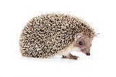 Eared hedgehog (isolated on white)