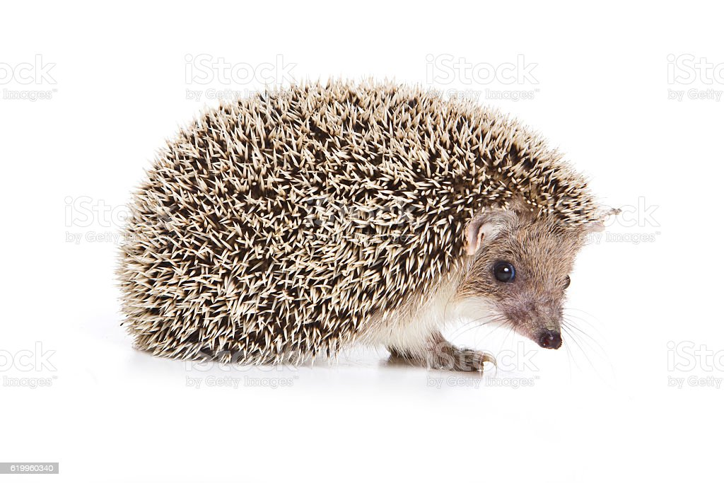 Eared hedgehog (isolated on white) stock photo