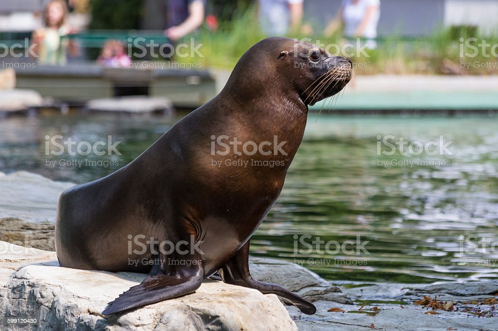 Eared seal or otariid mammal on a rock - foto stock