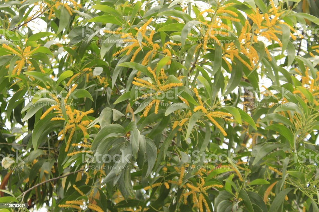 Earleaf Acacia Flowers Stock Photo Download Image Now Istock