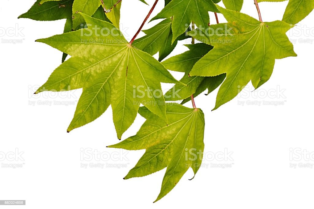 Early autumn green to yellow leaves of maple Acer tree, white background stock photo