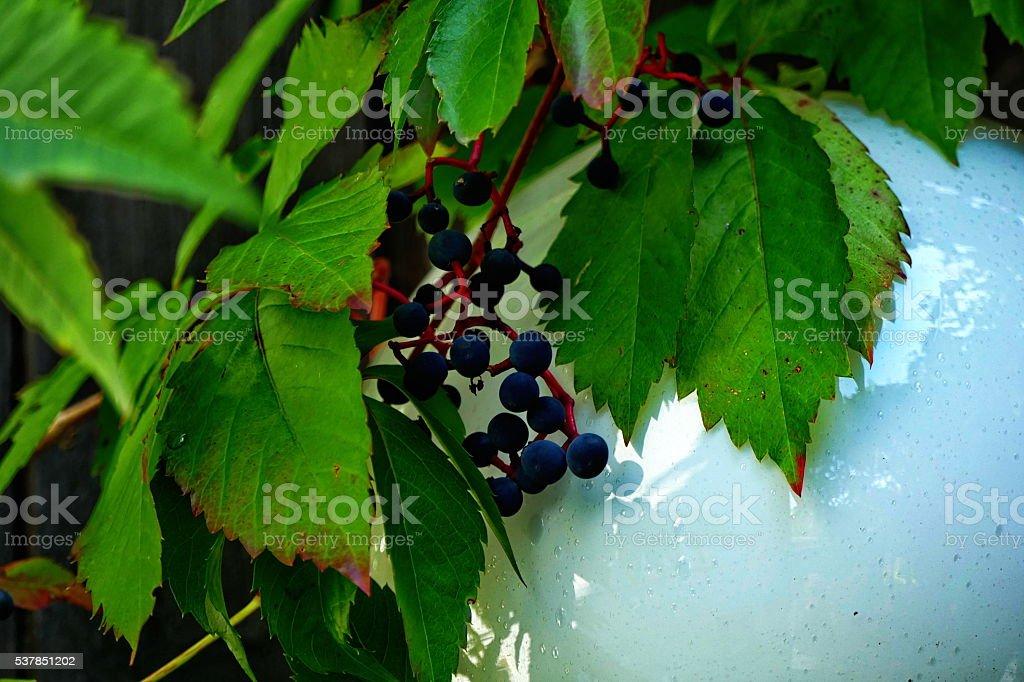 Early Autumn. Parthenocissus quinquefolia, Virginia creeper, wild vine berries. stock photo