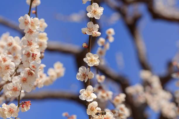 Früh blühende weiße Pflaume – Foto