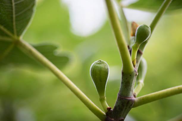 Early Celeste Figs on Tree stock photo