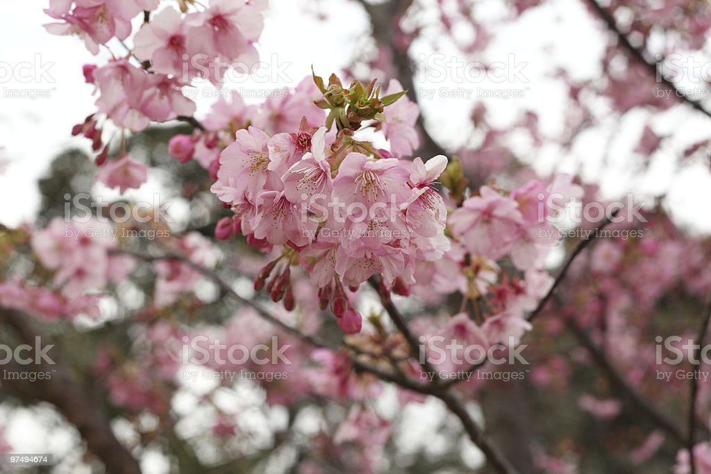 Early Cherry Blossoms in Japan royalty-free stock photo