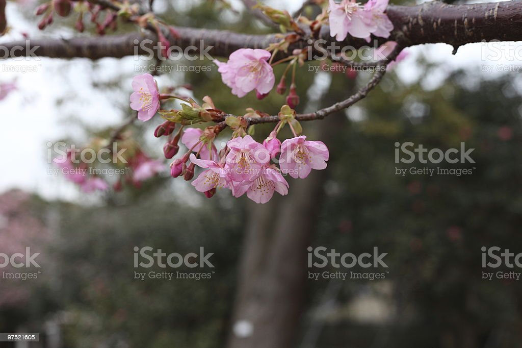 Early Cherry Blossoms royalty-free stock photo