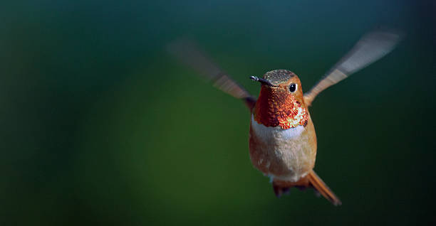 Early Evening Rufous stock photo