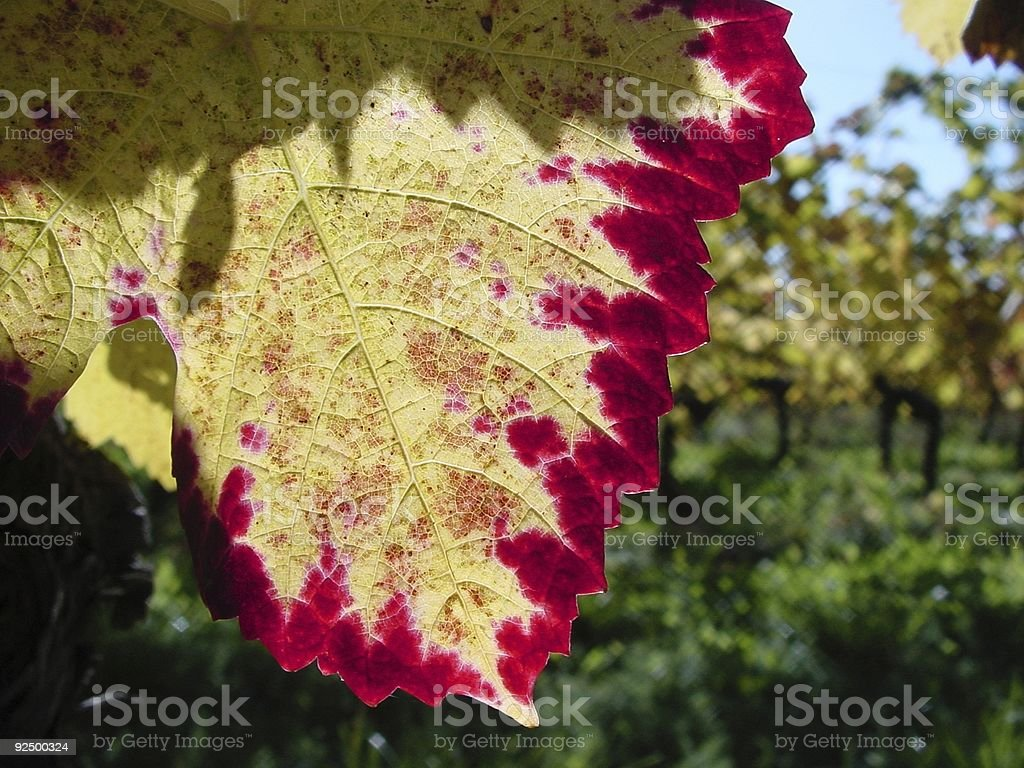 Early fall vine taste and colour royalty-free stock photo