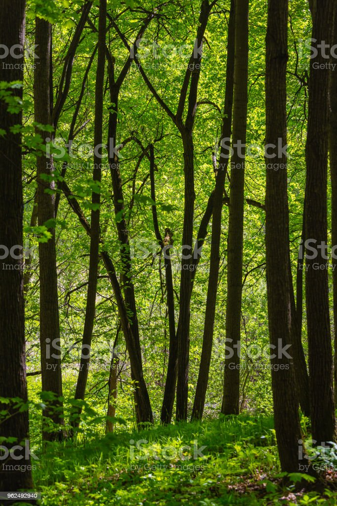 Early foliage in the wood - Royalty-free Branch - Plant Part Stock Photo