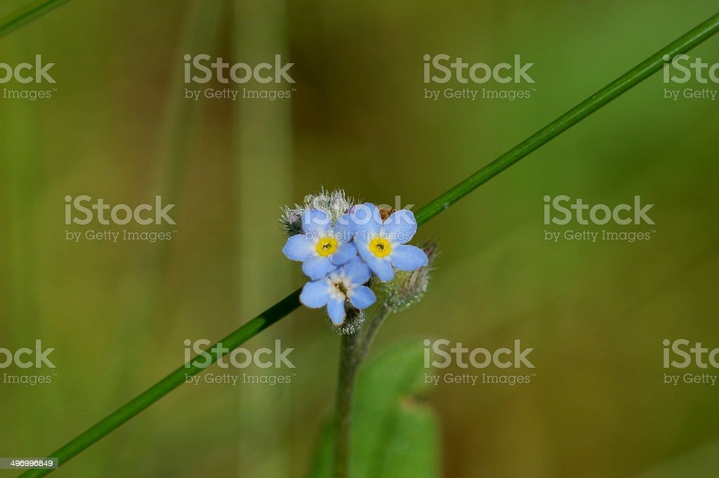 Early forget-me-not stock photo