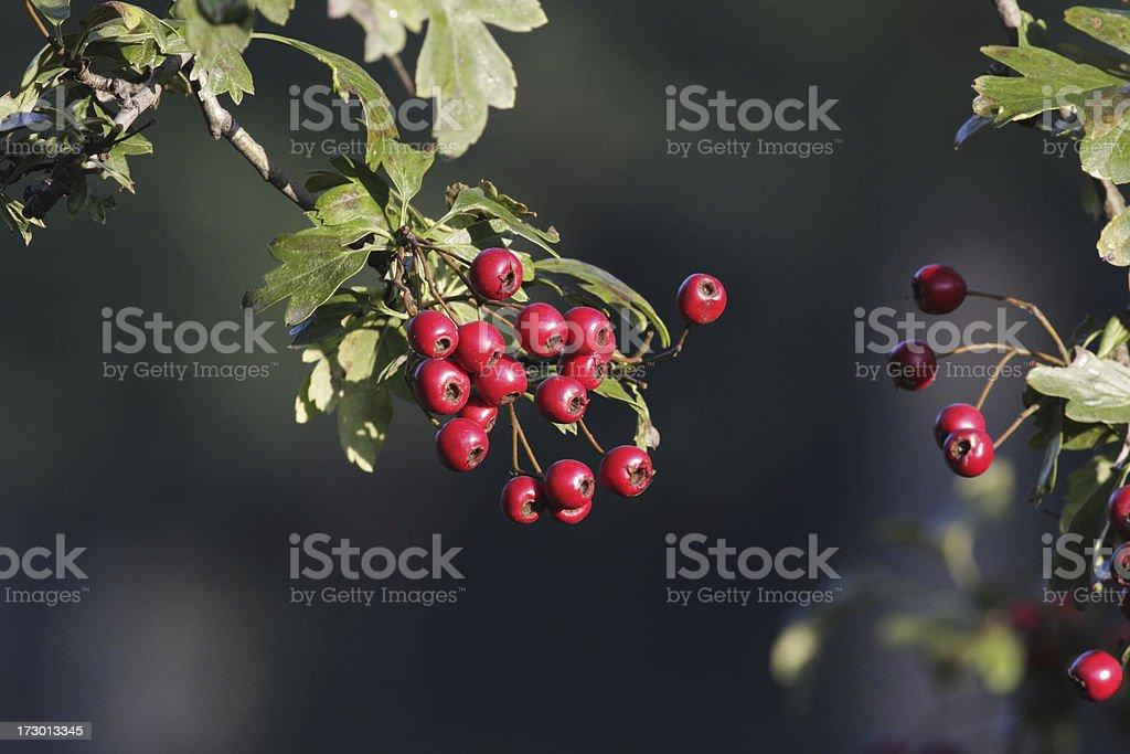 Early harvest hawthorn Crataegus monogyna fruit red haw berries royalty-free stock photo
