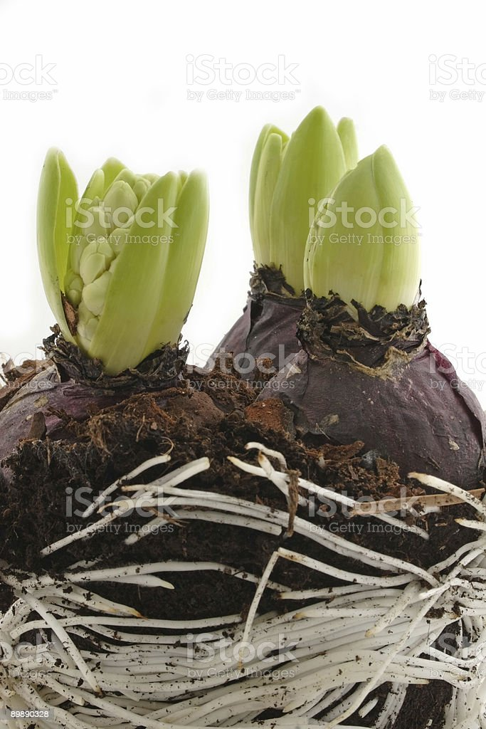 Early hyacinths royalty-free stock photo