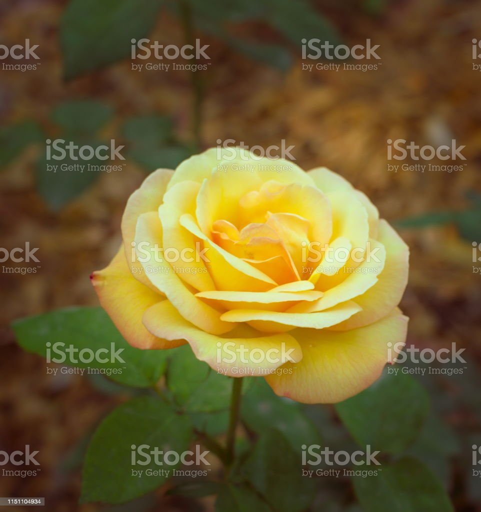 Yellow Rose Dew Home Decor Canvas Print choose your size.
