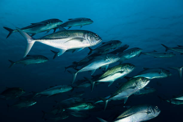 Early Morning, Bigeye Trevally Caranx sexfasciatus Forming School, Indonesia stock photo