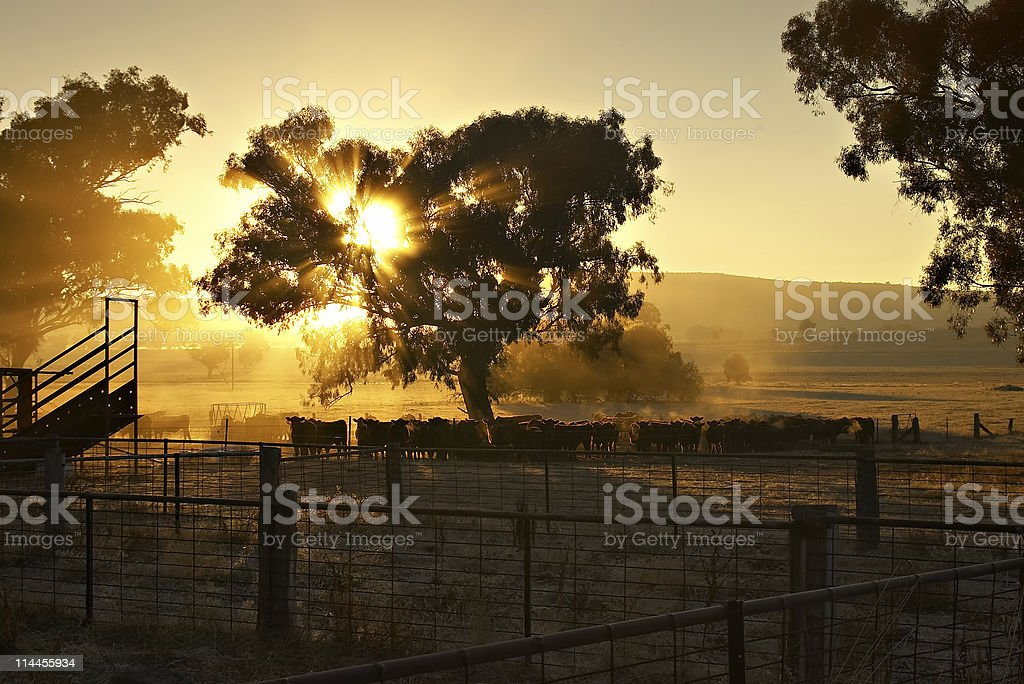early morning cattle stock photo