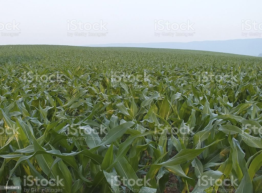 Early Morning Corn Field royalty-free stock photo