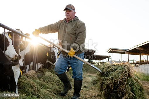 Early morning dairy farmer feeds cows moving alfalfa with pitchfork