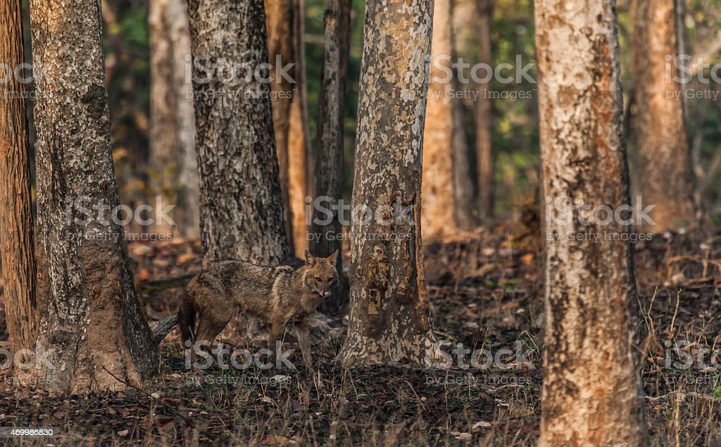 Early morning, Golden Jackal; spooky forest, Pench_NP, India stock photo