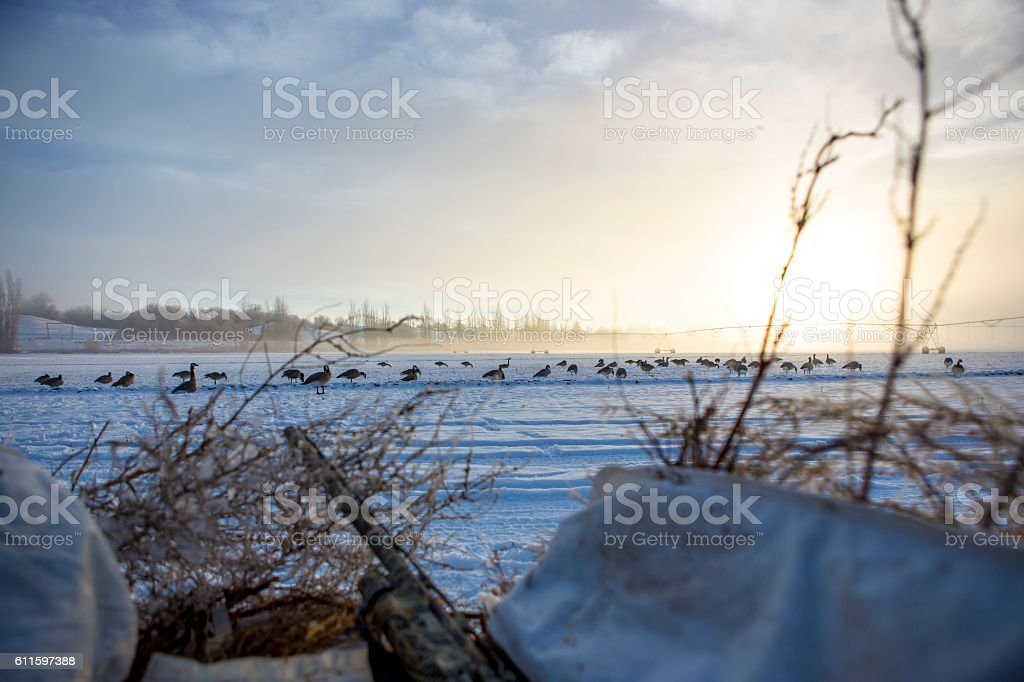 Early Morning Goose Hunt in Field - Sunrise stock photo