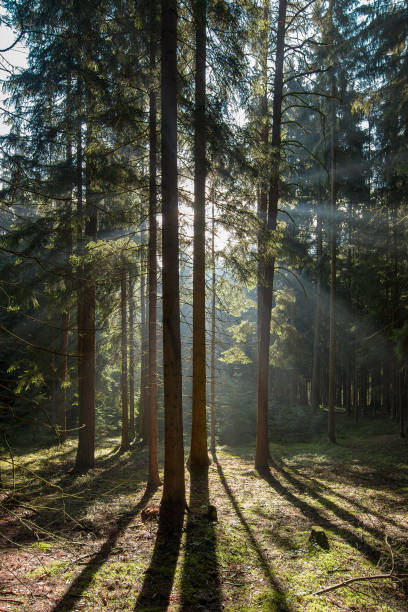 Early morning in coniferous forest stock photo