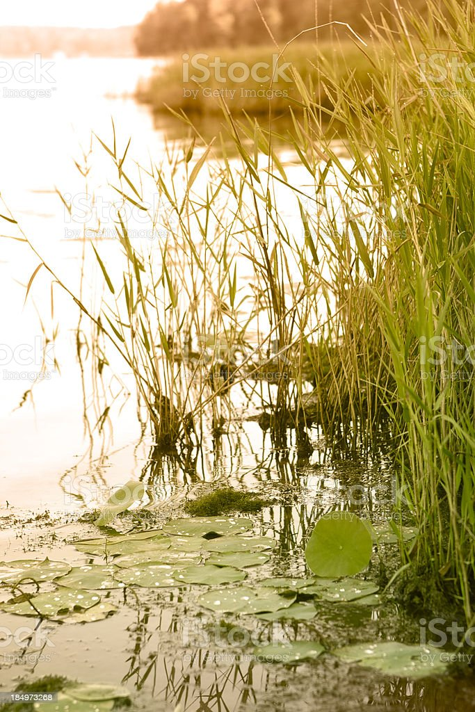 Early morning lily pads royalty-free stock photo