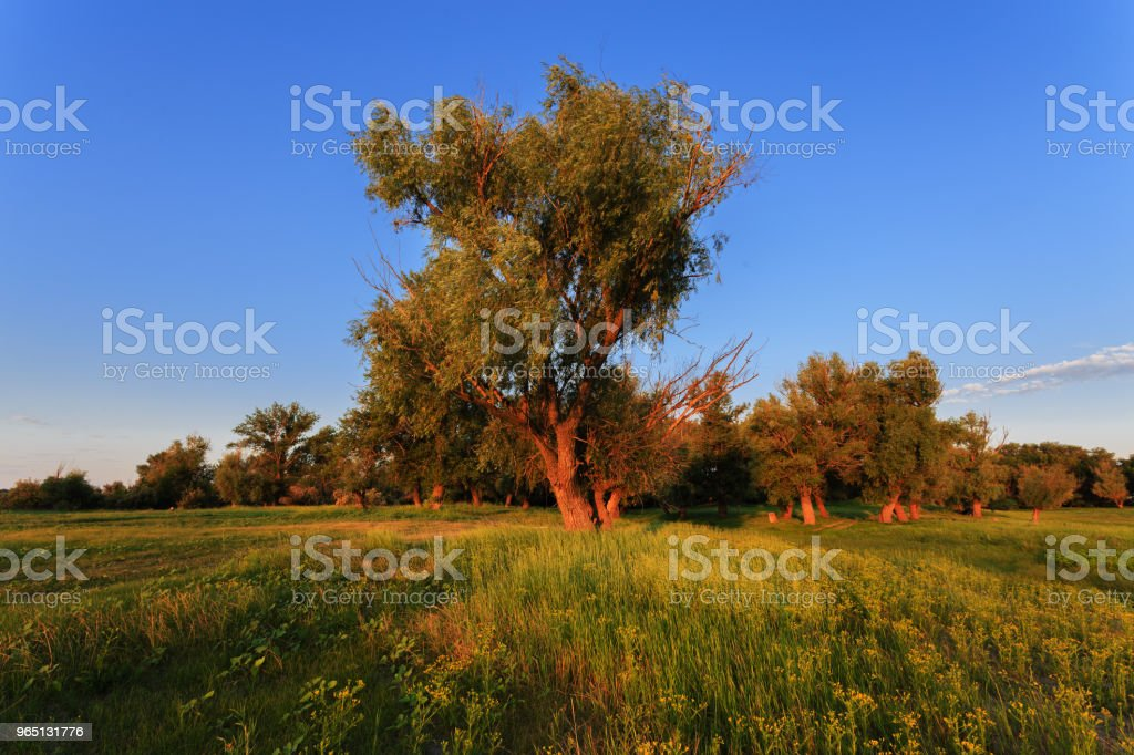 Early morning of July. A large and tall old tree grows in the meadow. The sun is shining. In the foreground is low green grass. Blue sky in the background royalty-free stock photo